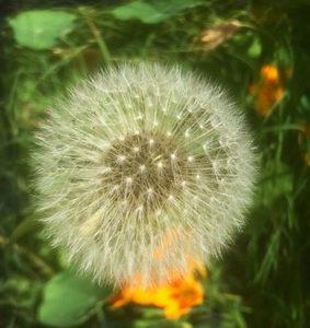 dandelion-garden